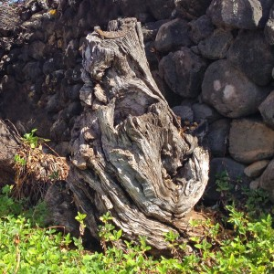 Ancient olive tree, garden La Palma