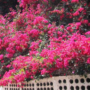 Beautiful bougainvillea on white wall, La Palma