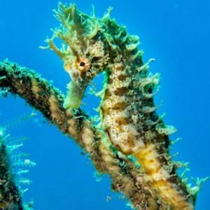 Seahorse, diving La Palma